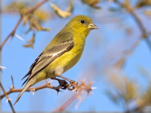 lesser_goldfinch_